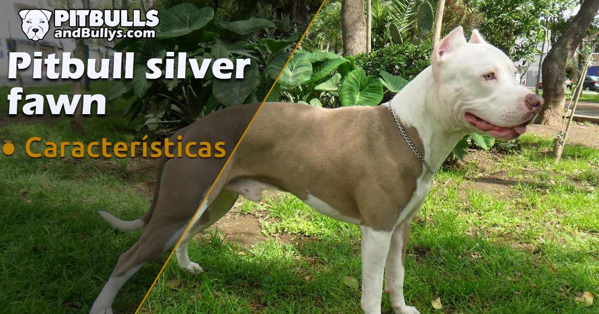Pitbull Silver Fawn