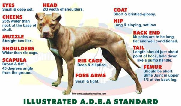 Estandar ADBA para el American Pitbull Terrier