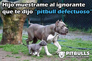 Pitbull defectuoso