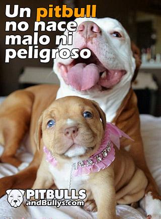 Un pitbull no nace malo ni peligroso